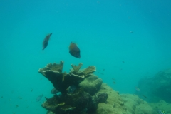 Best filefish coral pic
